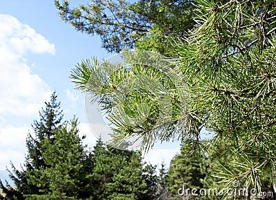 Branch of Pine Tree(Pinus Sylvestris)