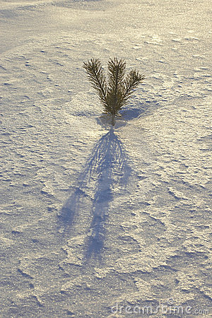 Branch of pine tree in snow with shadow.
