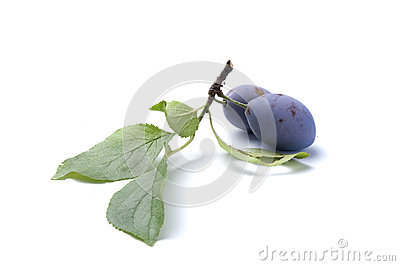 Branch of plum