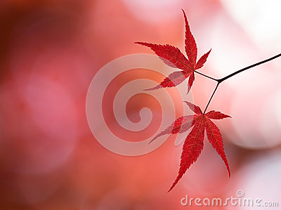 Branch with red maple leaves in the forest