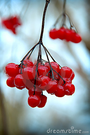 A branch of red viburnum berries in wintertime.