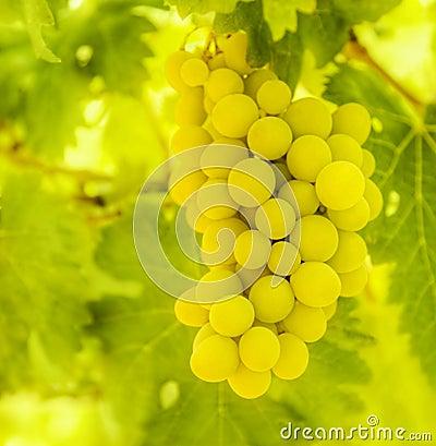Branch of ripe white grape