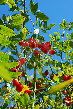 Branch of rose hip