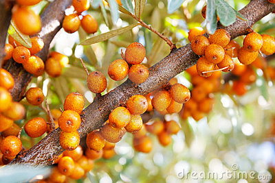 Branch of sea-buckthorn