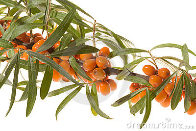 Branch of sea-buckthorn with berries