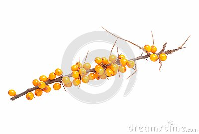 Branch of sea-buckthorn berries
