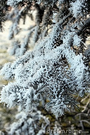 Branch of spruce in frost