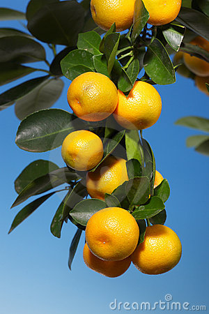 A branch with tangerines on a tree