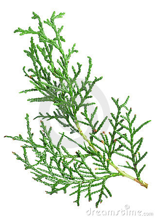 Branch thuja Stock Photo