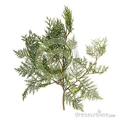 Branch of thuja tree Stock Photo