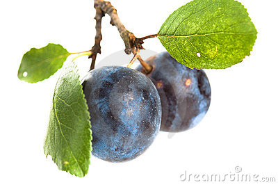 Branch with two ripe plums