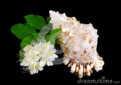Branch of white flowers and sea cockleshell.