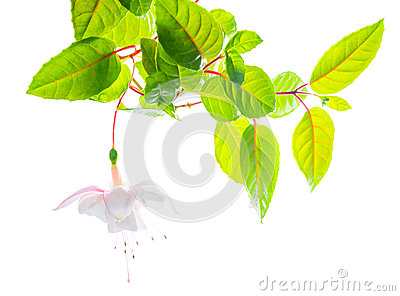 Branch white tenderness fuchsia  on white