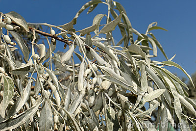Branch of wild olive trees