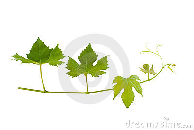 Branch of wine leafs