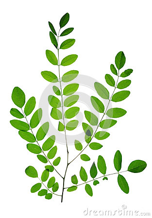 Free Branch With Green Leaf Of Acacia Or Black Locust Stock Photo - 94720640