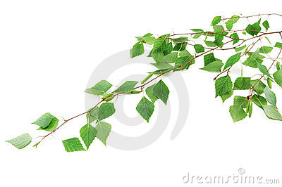 The branch of a young birch
