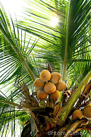Branch of young coconuts on coconut tree