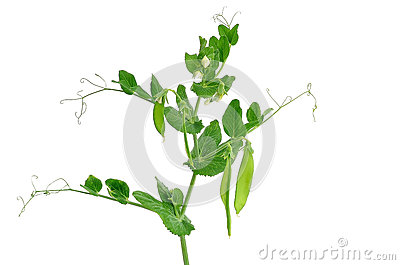 Branch of young green peas
