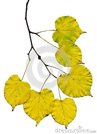 branche de bouleau avec les feuilles jaunes photo stock. Black Bedroom Furniture Sets. Home Design Ideas