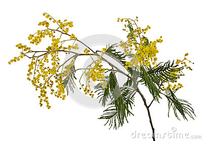 Branchement de mimosa de plan rapproché