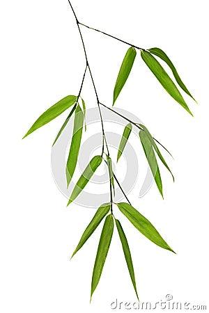 Branchement en bambou vert d 39 isolement sur le blanc image - Tout sur le bambou ...