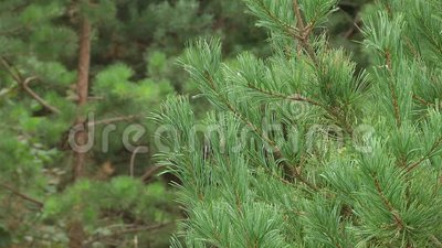 Branchements verts de pin Branches vertes d'arbre ou de pin de sapin banque de vidéos