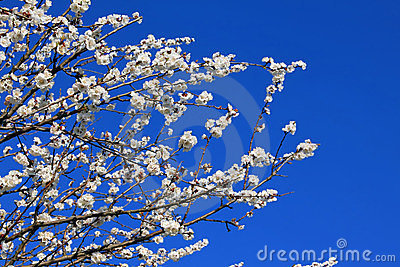 Branches of apricot flowers