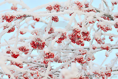 The branches of ashberry under snow like sweeties