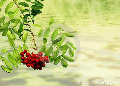 Branches with berries