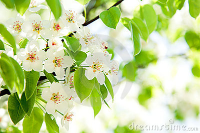 Branches of a blossoming apple-tree