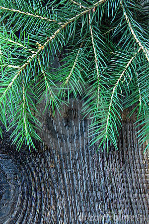Branches green fir tree on a  background
