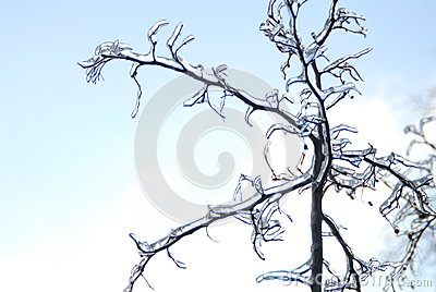 Branches are  ice-covered.
