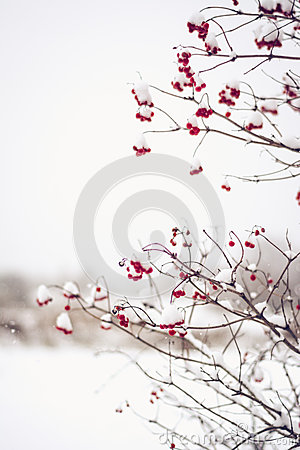 Free Branches Of Red Viburnum Opulus Berries Covered In Snow Royalty Free Stock Photo - 87985605