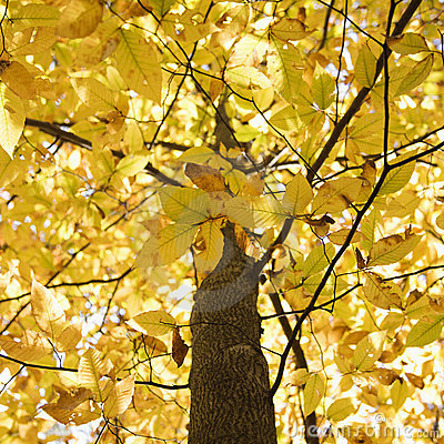 Free Branches Of Yellow Foliage Stock Photography - 2047162