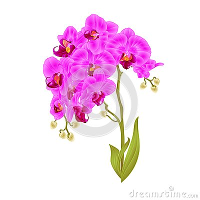 Free Branches Orchid Phalaenopsis Purple Flowers And Leaves Tropical Plants Stem And Buds On A White Background Vintage Vector Botani Royalty Free Stock Photo - 106337985