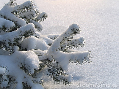 Branches of pine under a snow