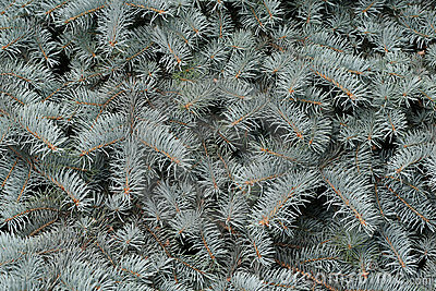 Branches of a silvery fur-tree