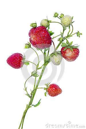 Branches of  strawberries isolated