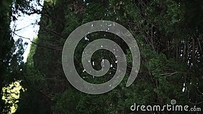 Branches vertes de cyprès dans la forêt de Monténégro clips vidéos