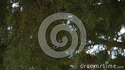 Branches vertes de cyprès dans la forêt de Monténégro banque de vidéos