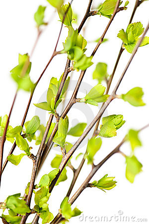 Free Branches With Green Spring Leaves Stock Image - 13992971
