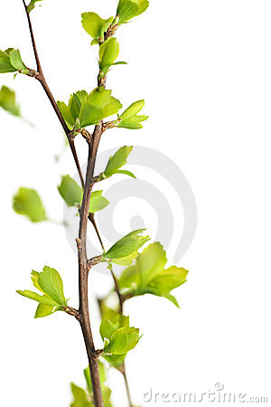 Free Branches With Green Spring Leaves Royalty Free Stock Photography - 13992977