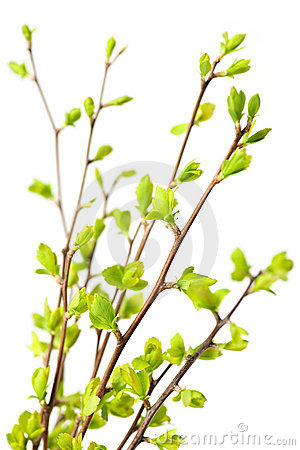 Free Branches With Green Spring Leaves Stock Image - 14585471