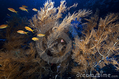 Branching black coral and fish