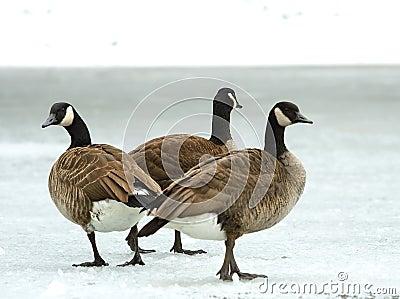 Brand goose ( Branta bernicla )