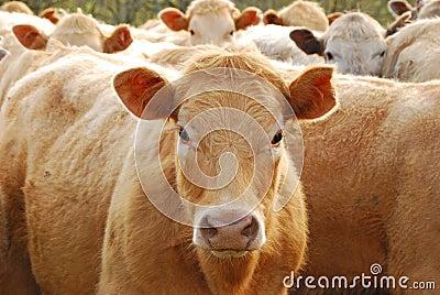 Brangus Steers