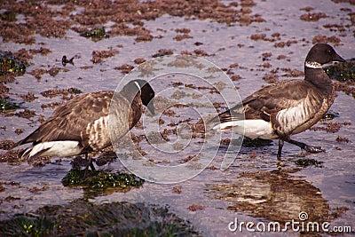 Brant Goose pair wading Stock Photo