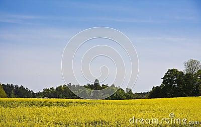 Brassica napus Field