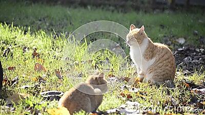 Braune Katzen im Freilandgrasfeld unter Sonnenlicht stock video footage